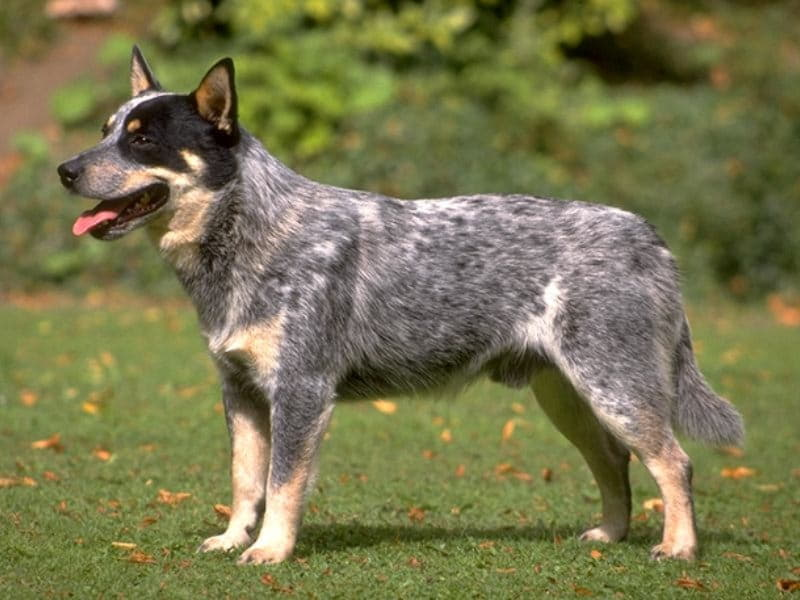 australian-cattle-dog-blue-heeler-01