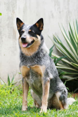 australian-cattle-dog-blue-heeler-02