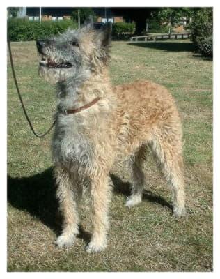 Бельгийская овчарка лакенуа