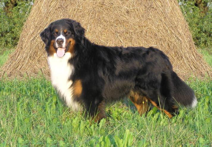 Бернский зеннехунд (Бернская горная пастушья собака)