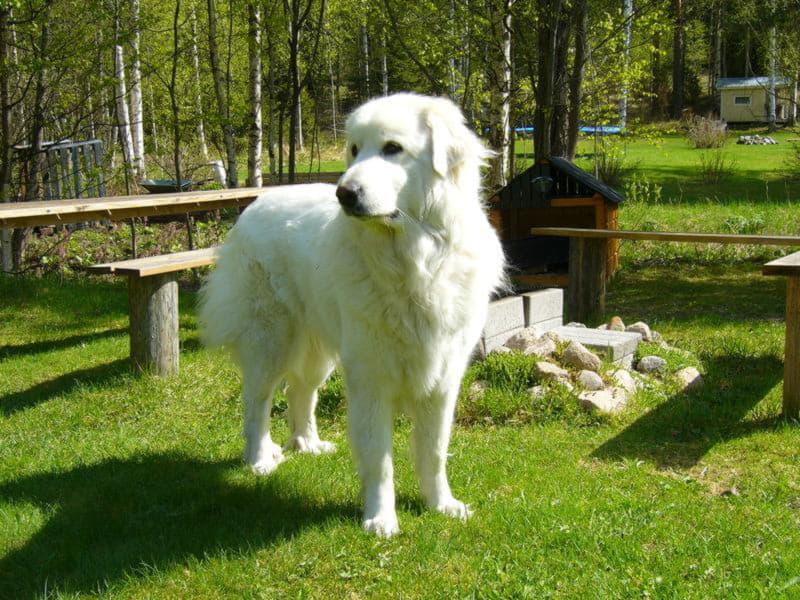 Большая пиренейская собака (Пиренейская горная собака)