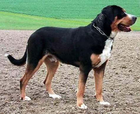 Большая швейцарская горная пастушья собака