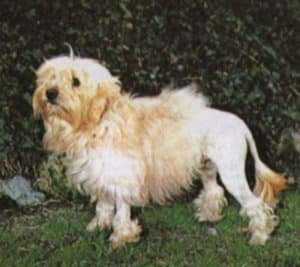 Левхен (Львиная собачка)