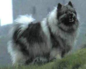 Кеесхонд (Голландский волчий шпиц)