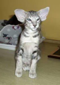 Ориентальная кошка (восточная короткошерстная)