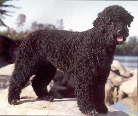 Португальская водяная собака