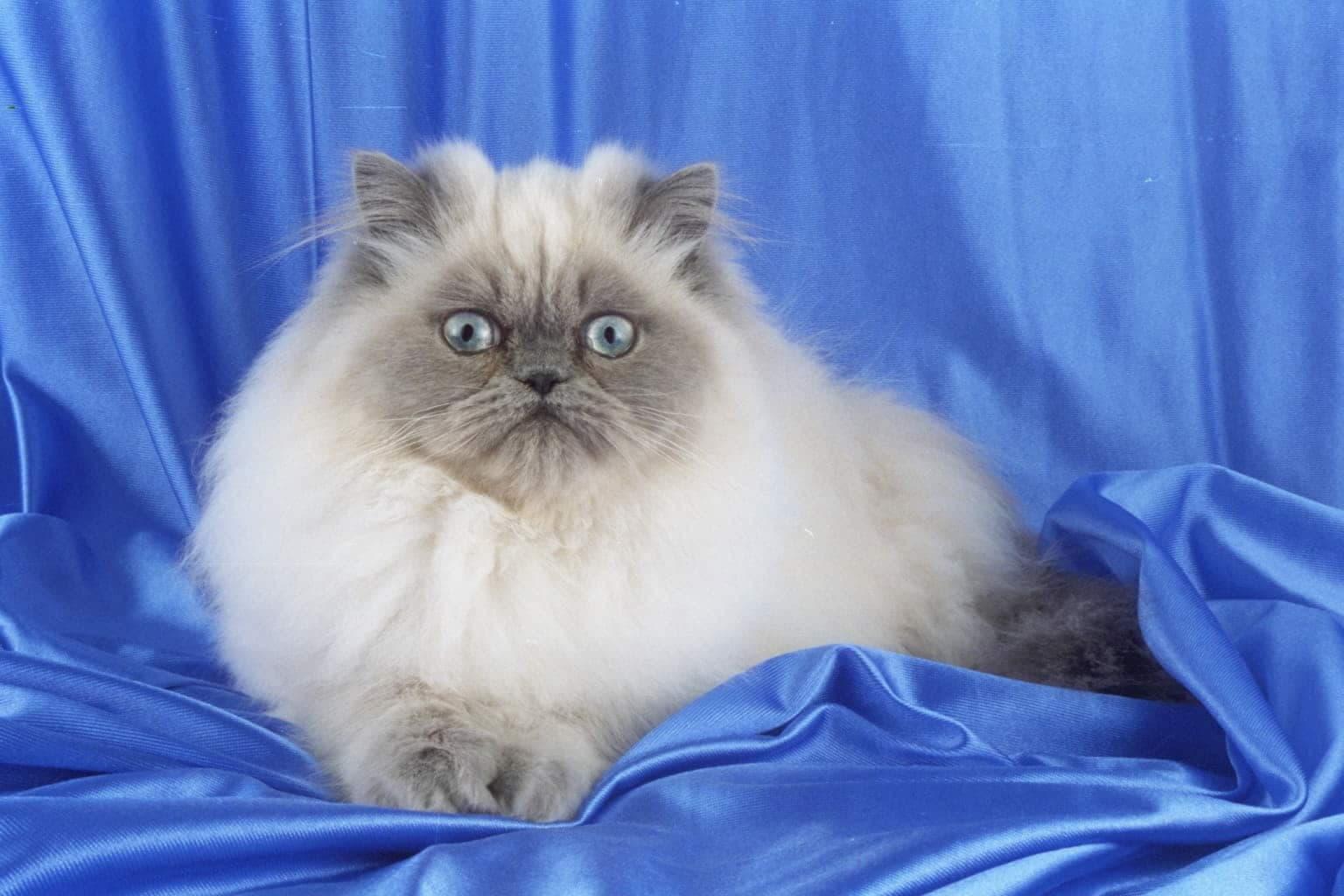 Гималайская кошка (Персидский колор-пойнт)