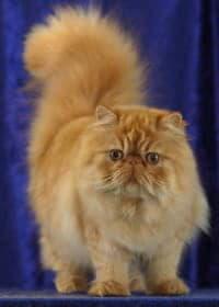 Уход за красотой персидских кошек