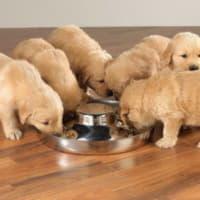 Как кормить щенка?