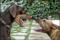 Что делать, если ваша собака кусает других собак