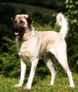Анатолийская овчарка (Анатолийский карабаш, Анатолийская пастушья собака)