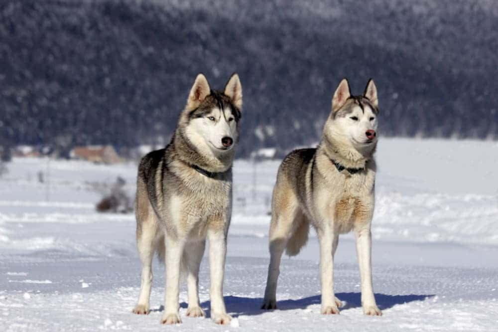 Сибирский хаски похожи на волков
