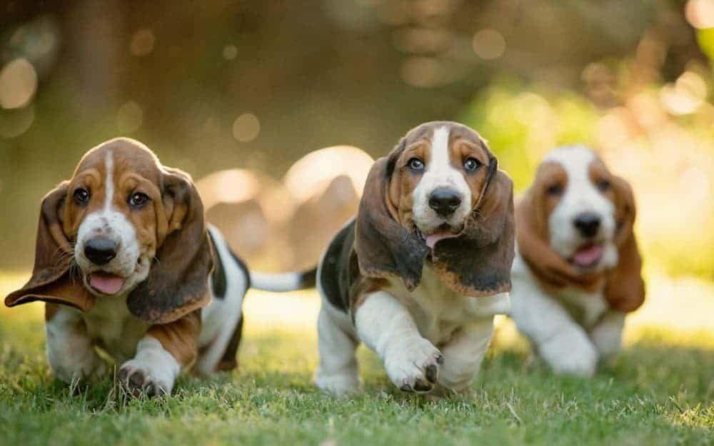 Три щенка бассет-хаунда