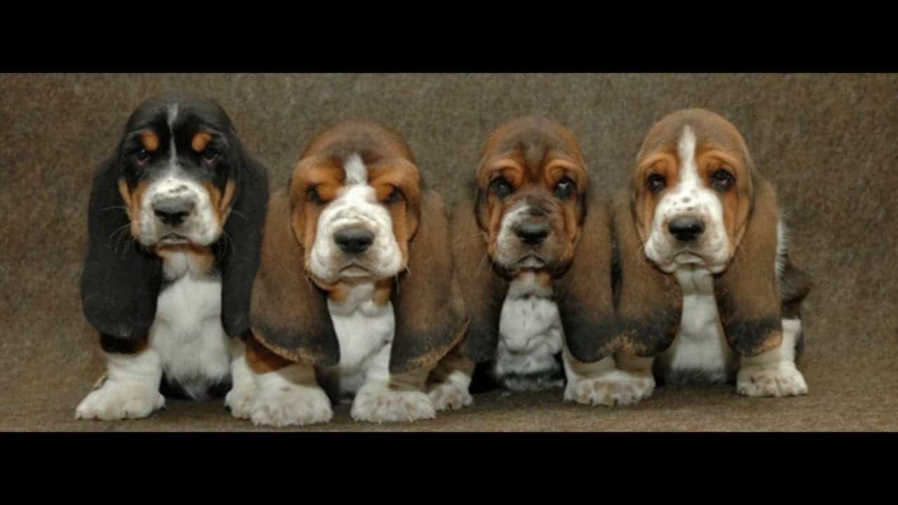Четыре щенка бассет-хаунда