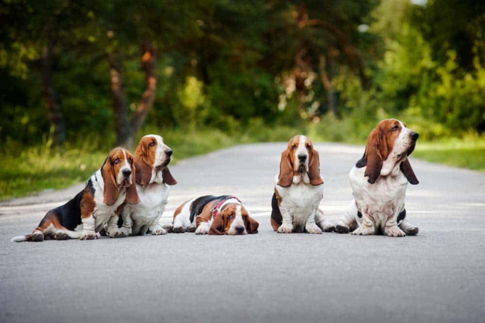 Пять бассет-хаундов на дороге