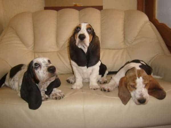 Три бассет-хаунда на диване