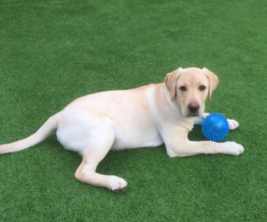 Лабрадор с мячиком