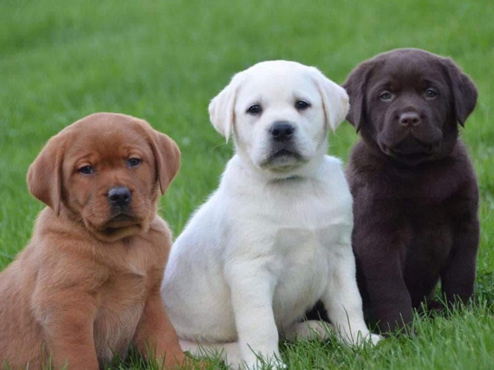 Щенки лабрадора, черный, белый и коричневый