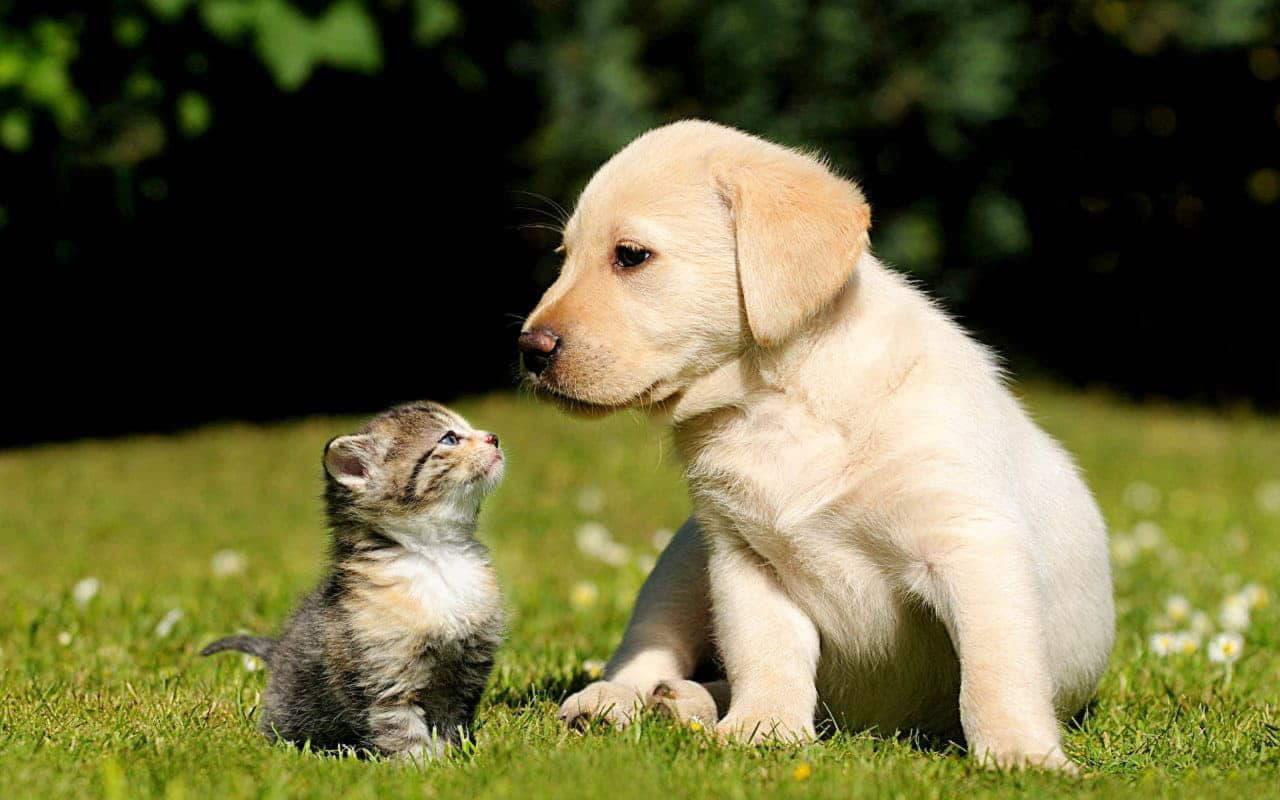 Щенок лабрадора с котенком