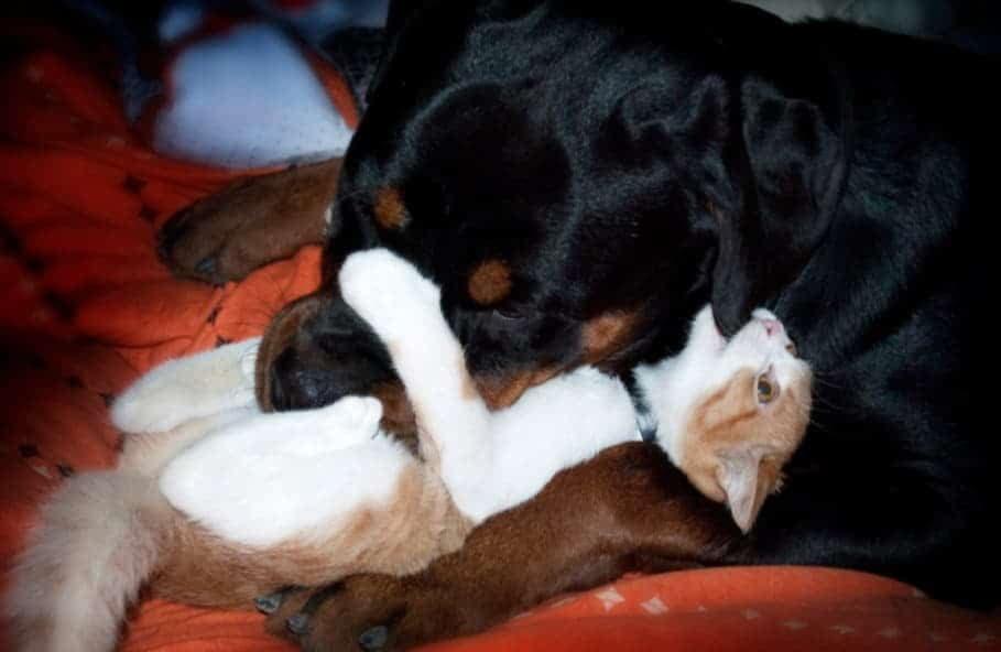Ротвейлер с кошкой