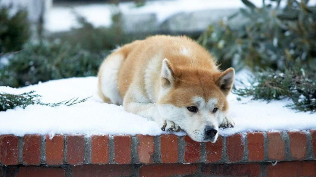 Фото Акита-ину из фильма «Хатико: самый верный друг»