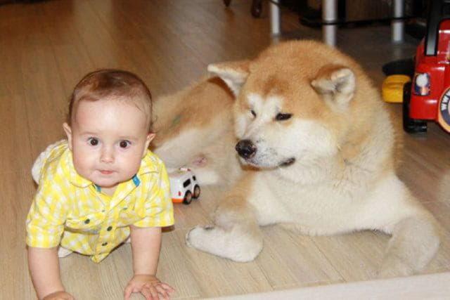 Фото Акита-ину с ребенком