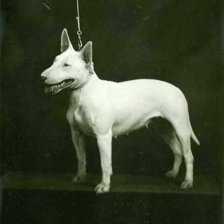 Историческое фото собаки породы Бультерьер