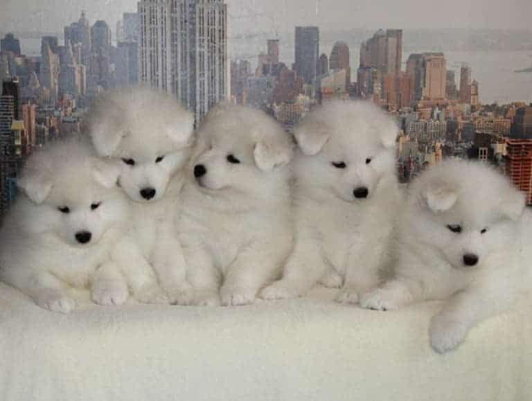 Фото щенков самоеда