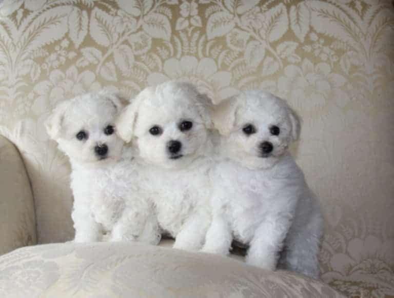 Три щенка бишон фризе