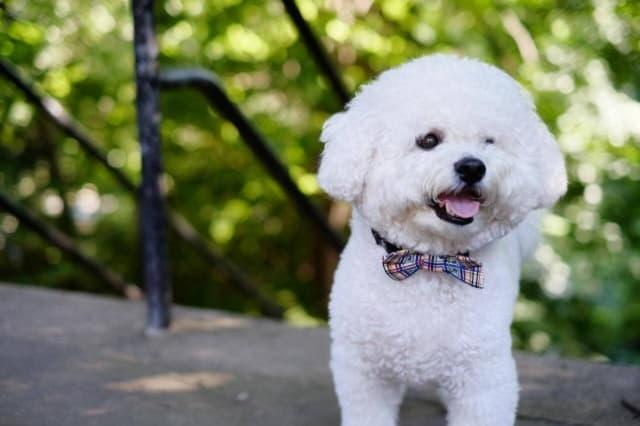 Декоративные породы собак