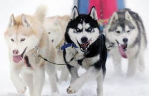 Ездовые породы собак