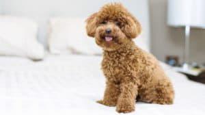 Кудрявые породы собак