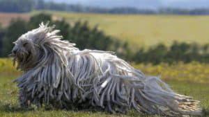 Лохматые породы собак