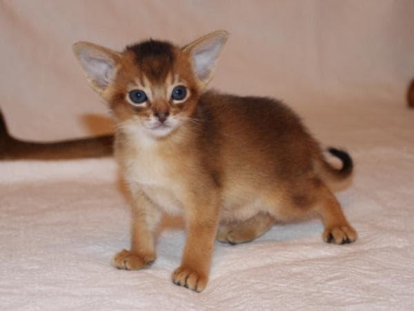 Котенок абиссинской кошки