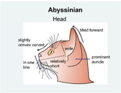 Голова абиссинской кошки