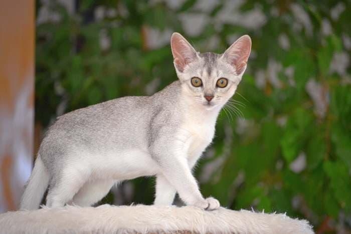 абиссинская кошка окрас серебро