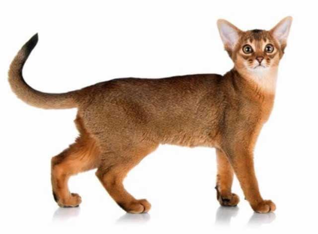 Туловище абиссинской кошки