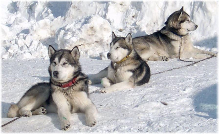 Аляскинские маламуты в упряжке