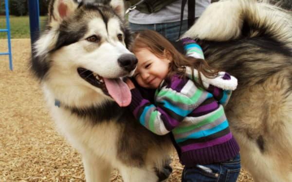 Аляскинский маламут с девочкой