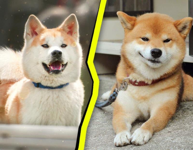 Акита-ину слева. Сиба-ину справа.