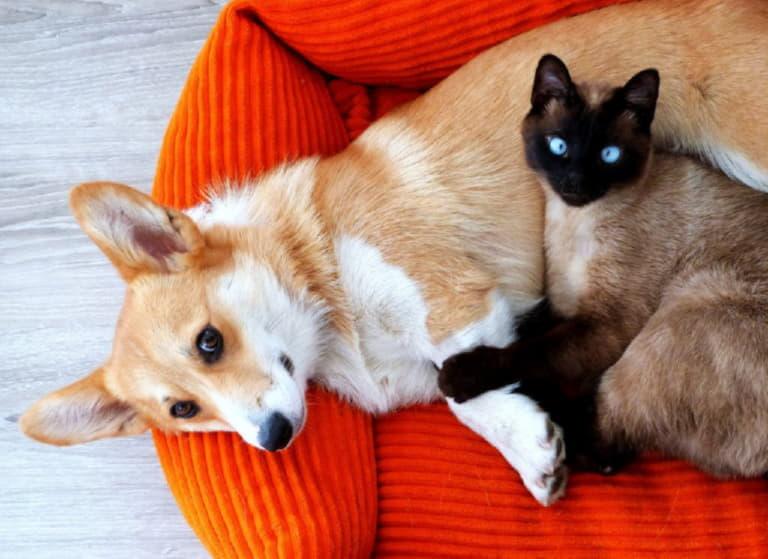 Вельш-корги-пемброк и кошка
