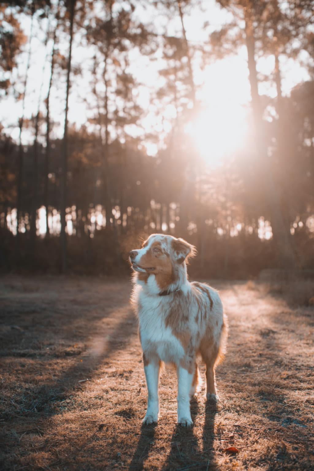 Австралийская овчарка (аусси) в лучах солнца