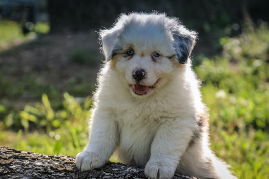 Аусси щенок