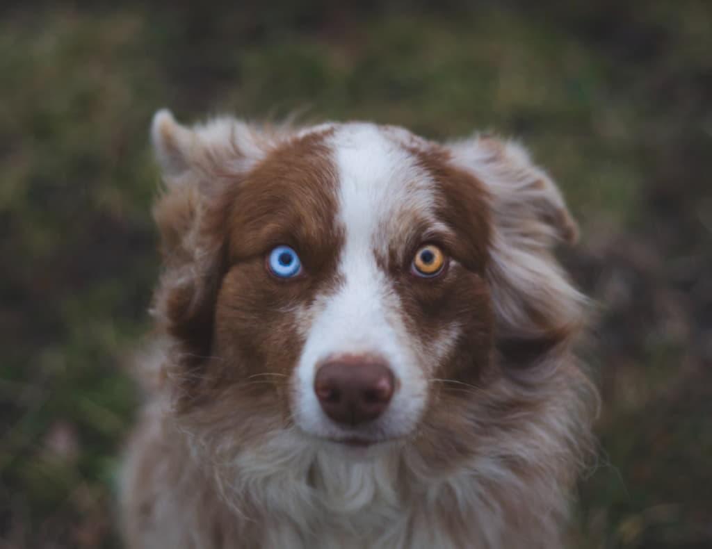 Разный цвет глаз у австралийской овчарки (аусси)