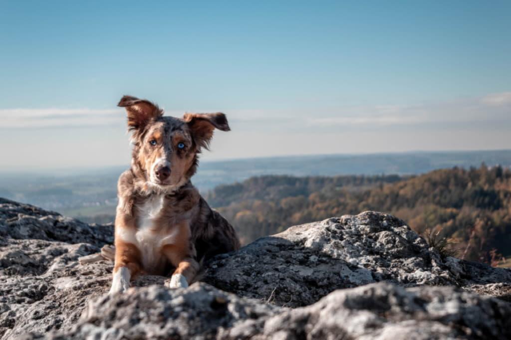 Австралийская овчарка на скале