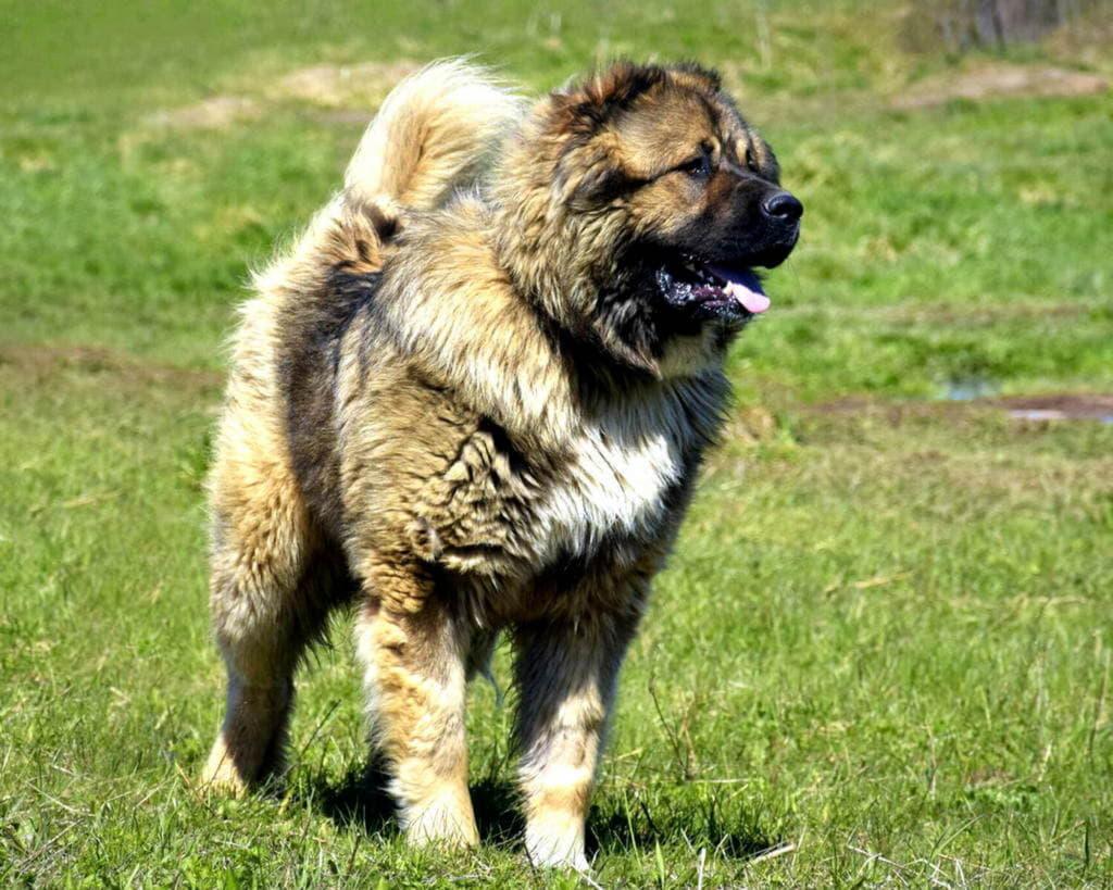 Кавказская овчарка внешний вид