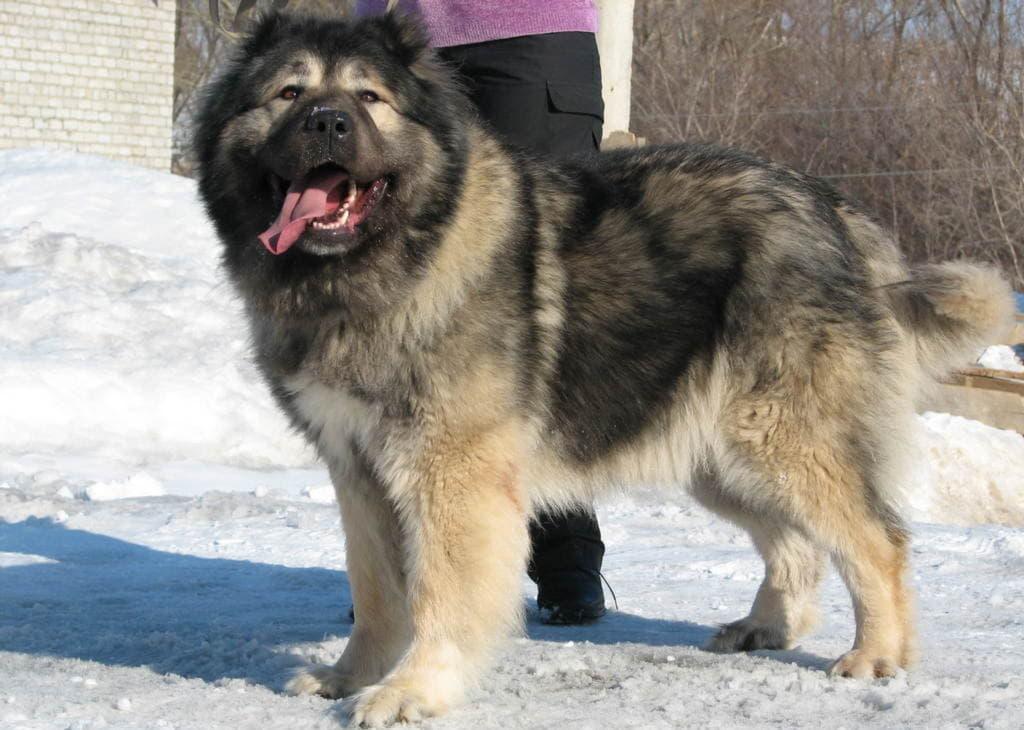 caucasian shepherd 06
