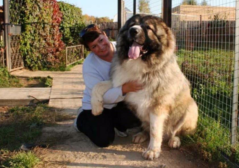 Кавказская овчарка рядом с человеком
