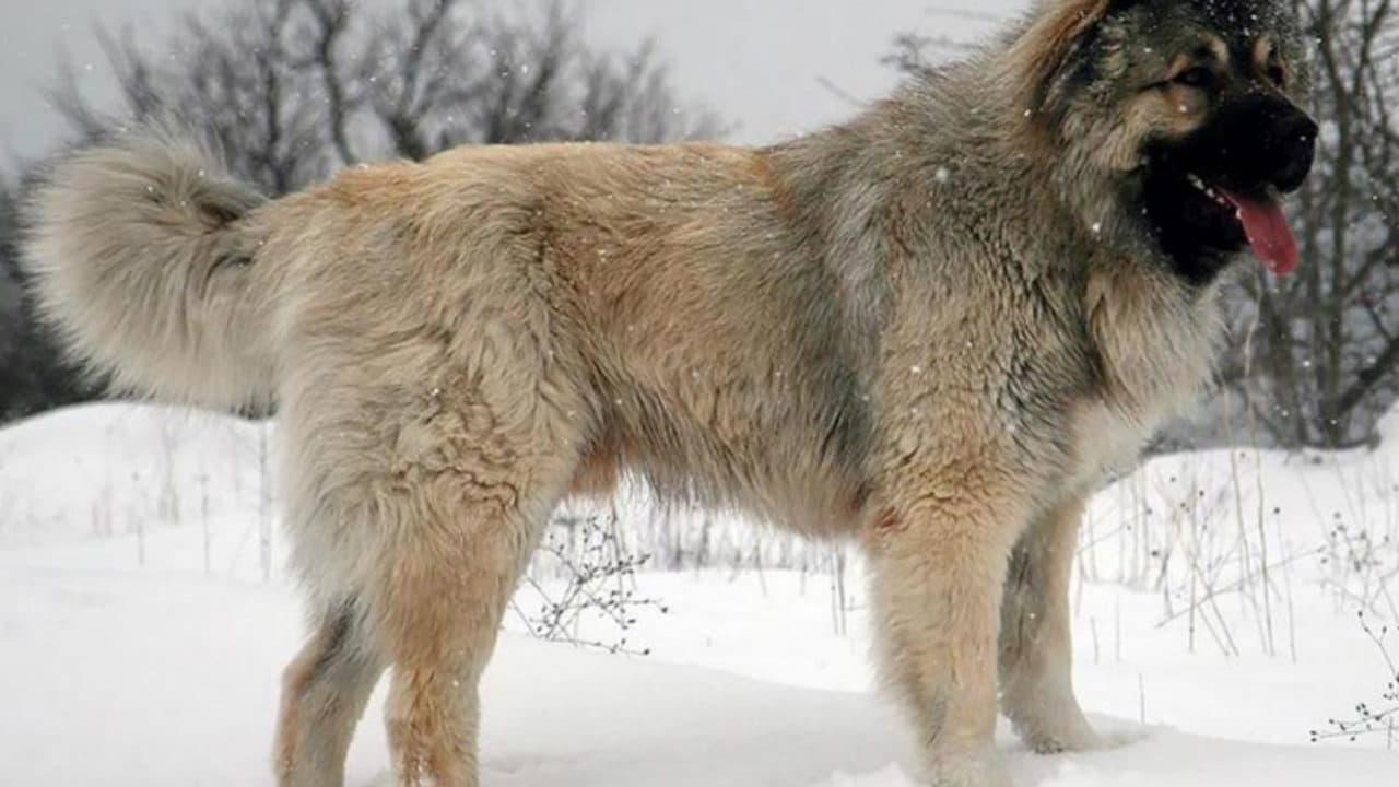 Кавказская овчарка палевый окрас