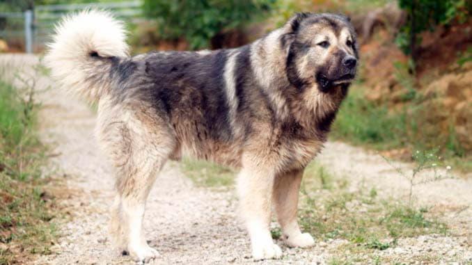 Кавказская овчарка зонарно-серый окрас